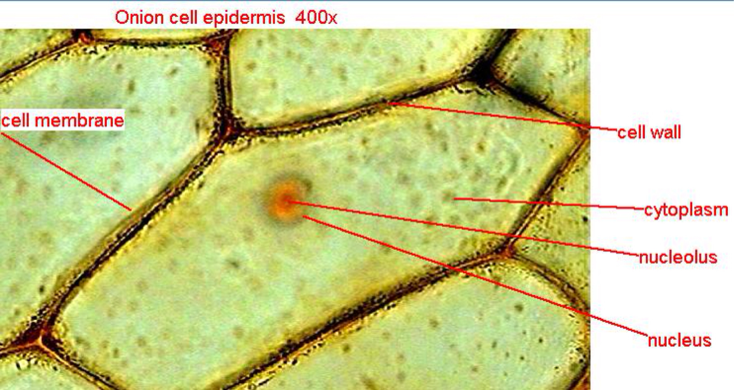 Onion Epidermal Cell Labeled