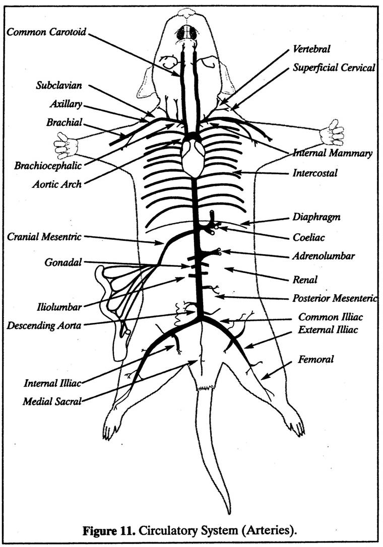 Rat Anatomy Labeled Labeled Diagram Of A Rat Similiar Rat Dissection