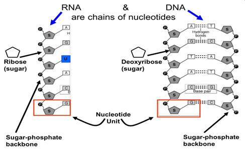 Rna Structure Labeled Image Of Dna Structure Labeled Diagram Dna