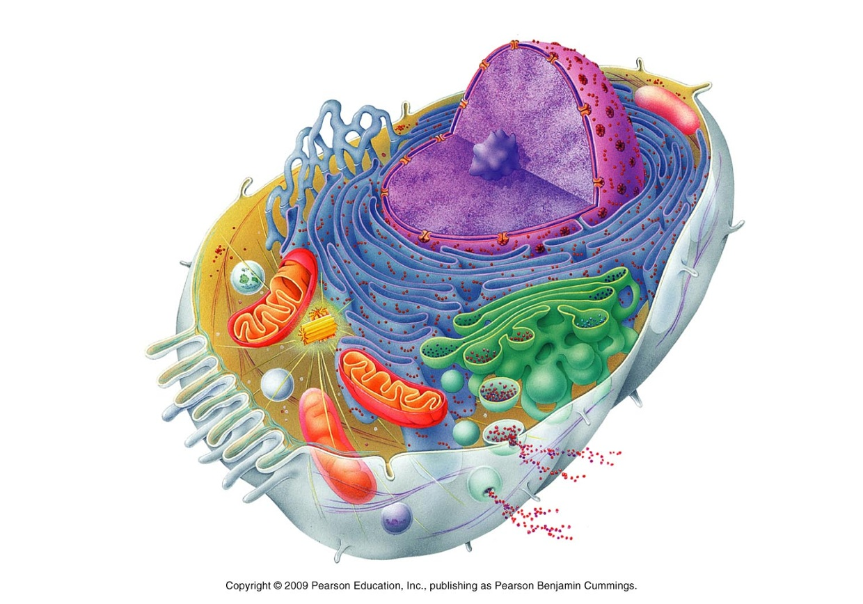 Animal Cell Structure Without Labels Diagram Plant And Elegant Awesome Colored Of