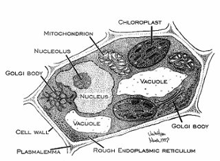 diagram plant cel electron micrograph of    plant    cell labeled top label maker diagram plant cell electron micrograph of    plant    cell labeled top label maker