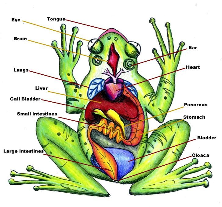 Labeled Picture Of A Frog Frog Muscles Labeled Frog Internal Anatomy