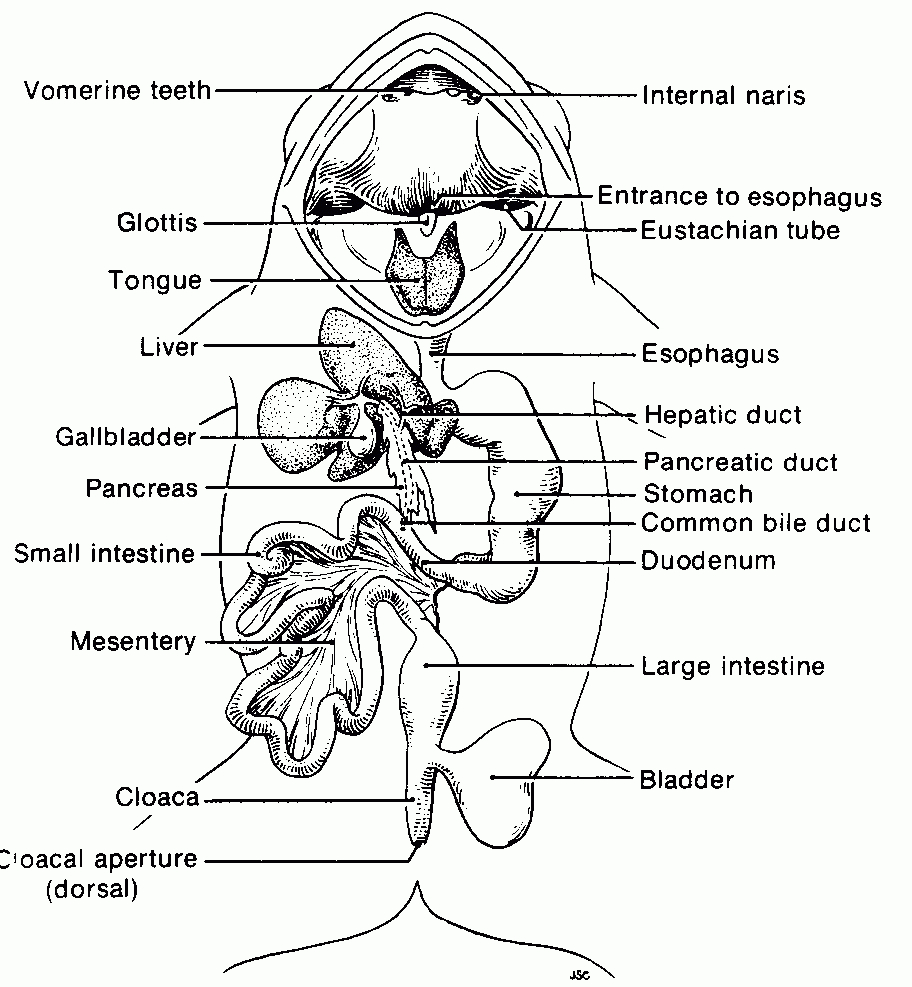 Labeled Picture Of A Frog Frog Dissection Worksheet Frog Anatomy