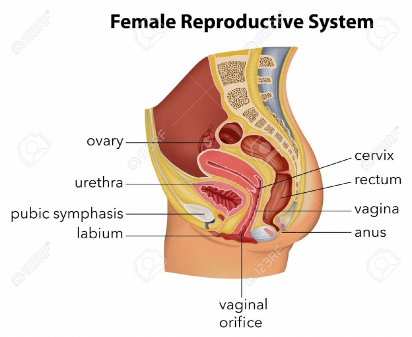 Labelled Diagram Of Female Reproductive Organs Labelled Diagram Of