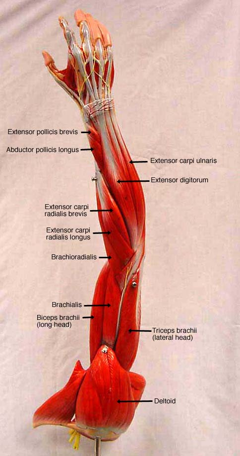 Muscle Model Labeled