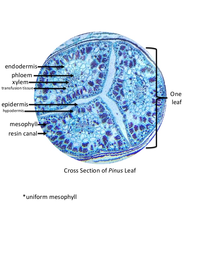 Pinus Stem Cross Section Labeled