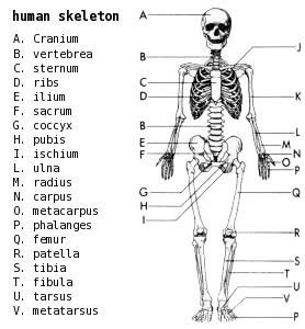 graphic regarding Printable Skeleton Parts named Skeleton Diagram Label - Schematics On-line