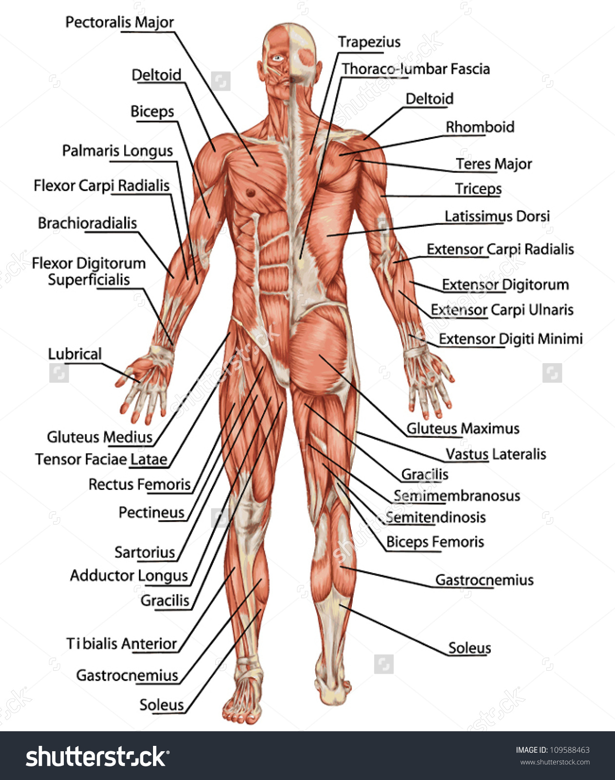 Upper Body Muscles Labeled Upper Body Anatomy Muscle Labeled