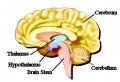 Labeled Model Of The Human Brain