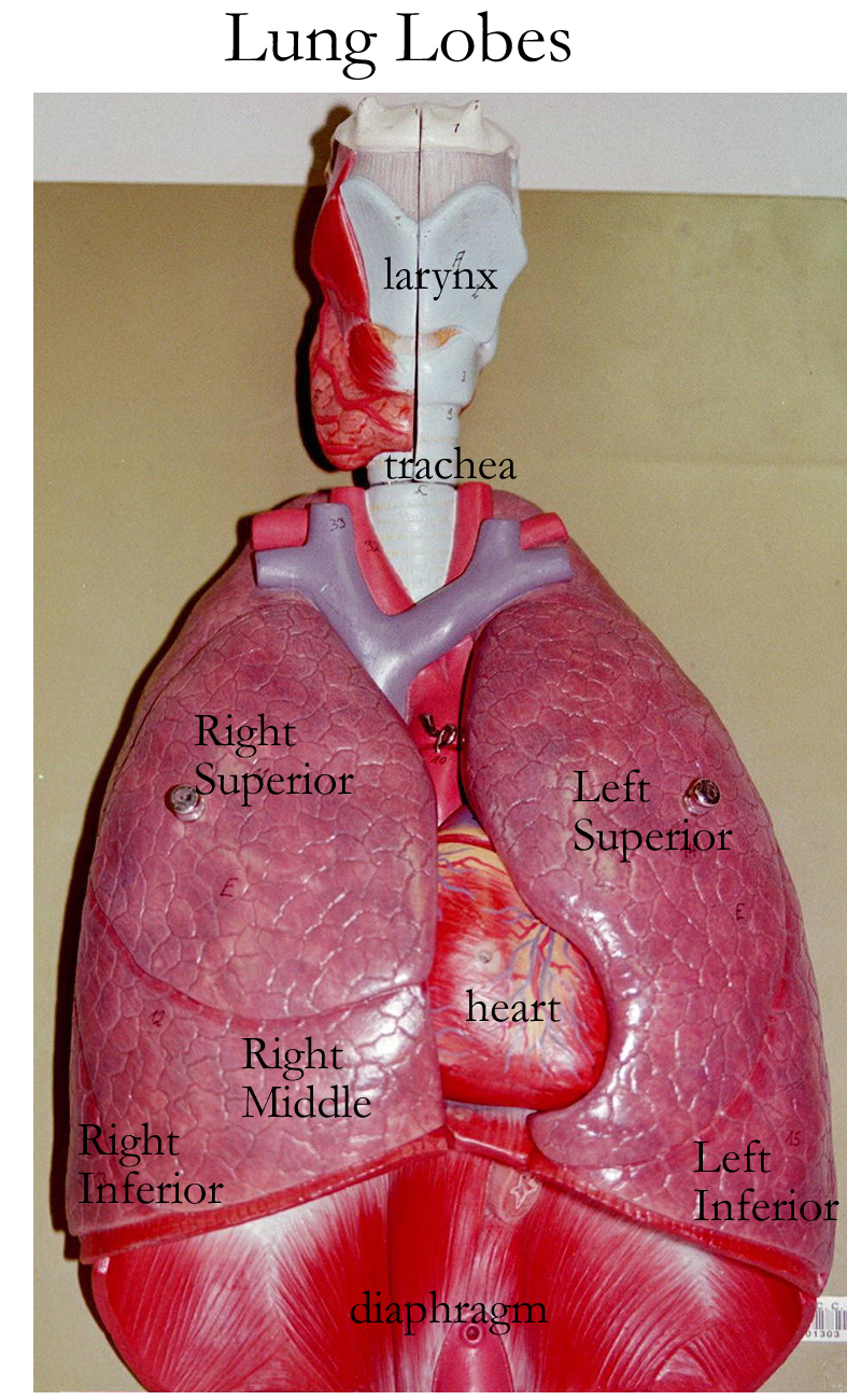 Lung Model Labeled