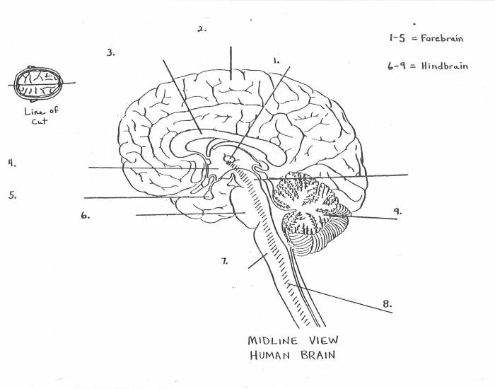 parts of the brain labeled 143259 - Top Label Maker