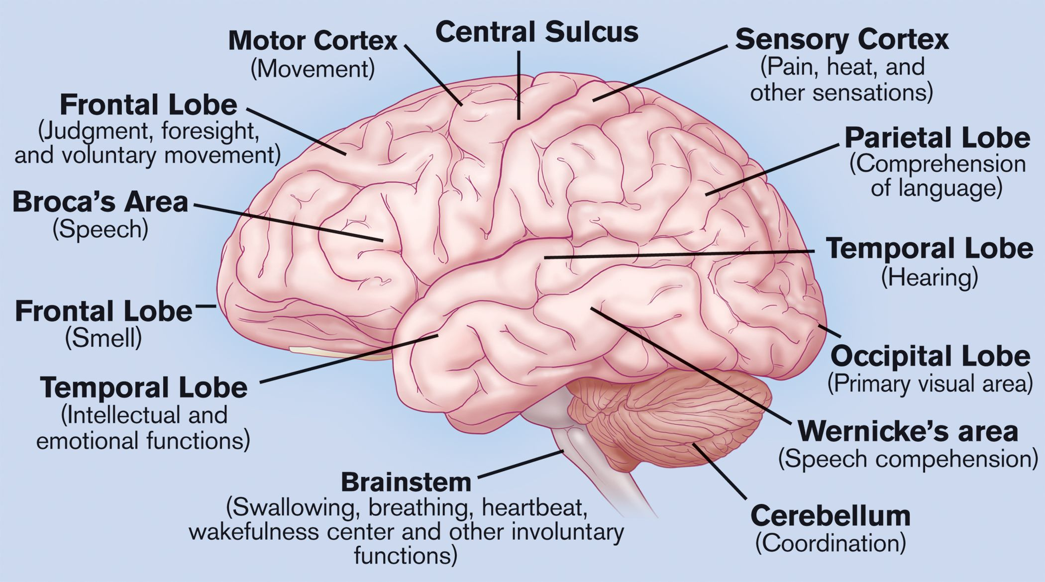 Parts Of The Brain Labeled Labeled Diagram Human Brain Top Label Maker